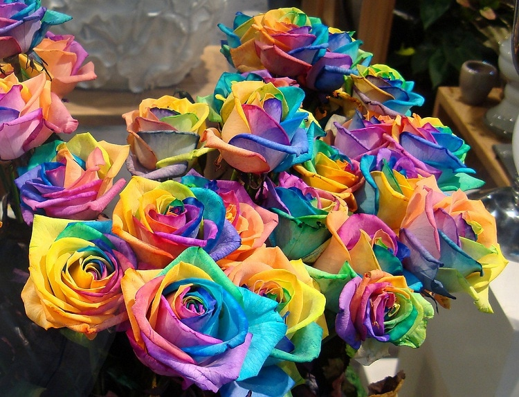 Rainbow Roses Photo