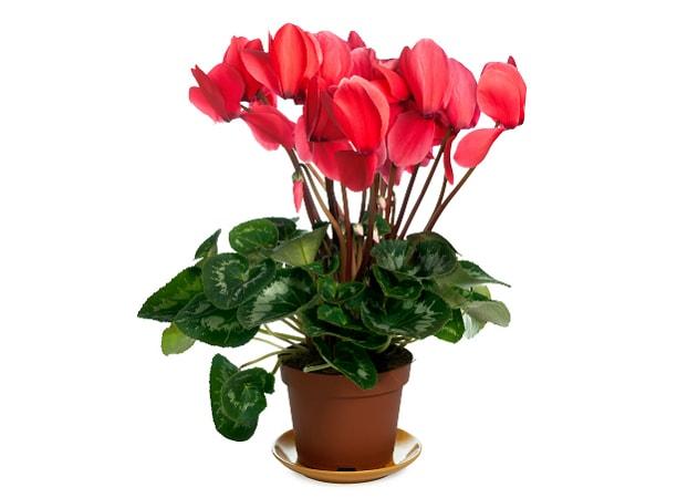 poisonous indoor plants photo