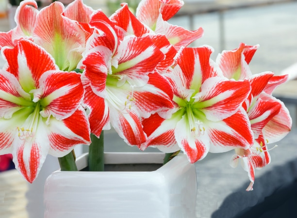 poisonous indoor plants photos and names