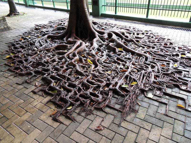 12. Корням могучего дерева нипочём городская плитка.