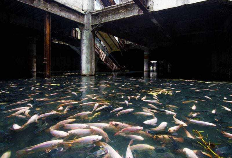 4. Затопленный торговый центр в Бангкоке стал новым пристанищем для рыбы.