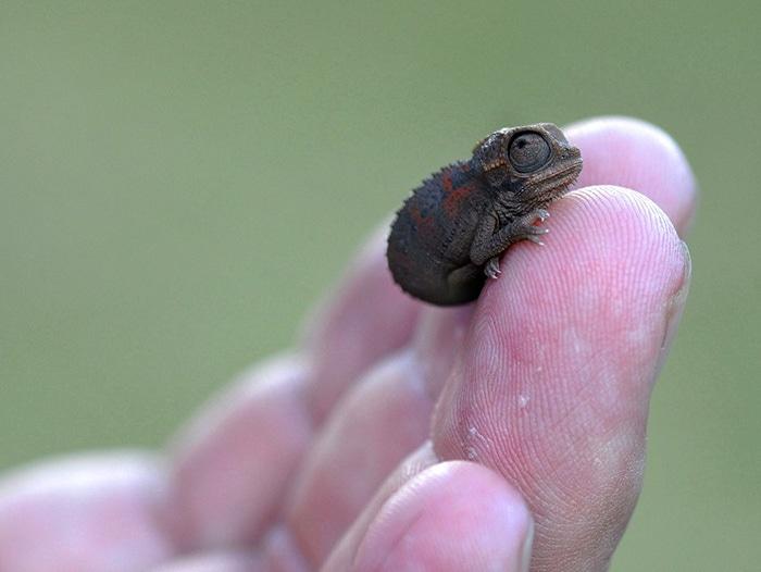 cute-baby-chameleons-582585091b340__700