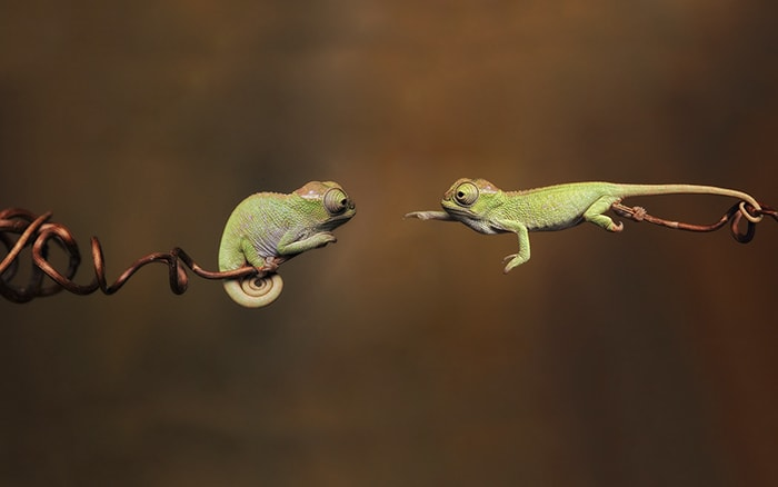 два маленьких хамелеона тянуться друг к другу