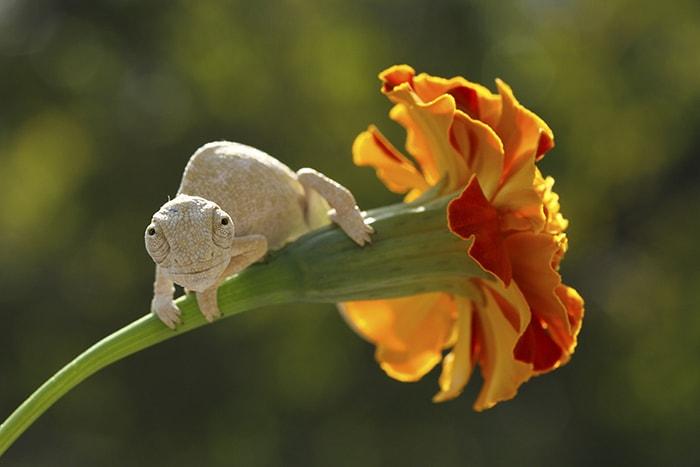 маленький хамелеон сидящий на цветке