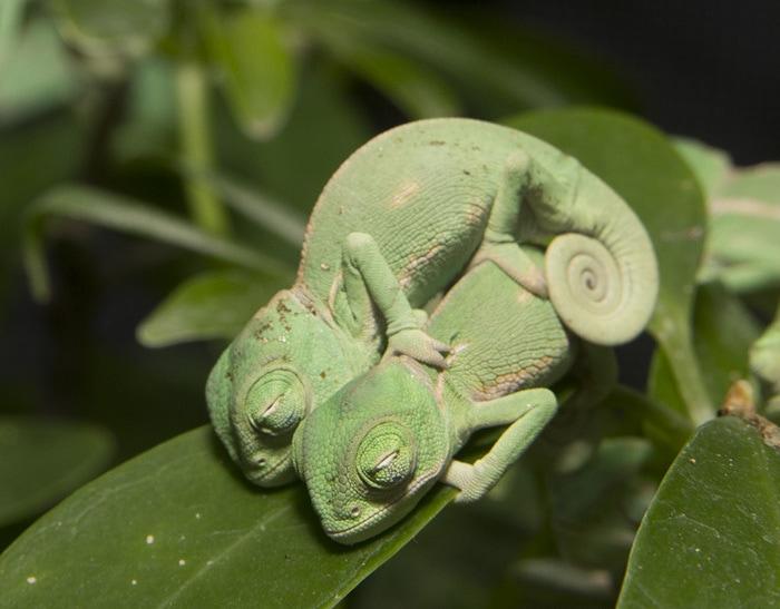 два маленьких хамелеона обнимаются