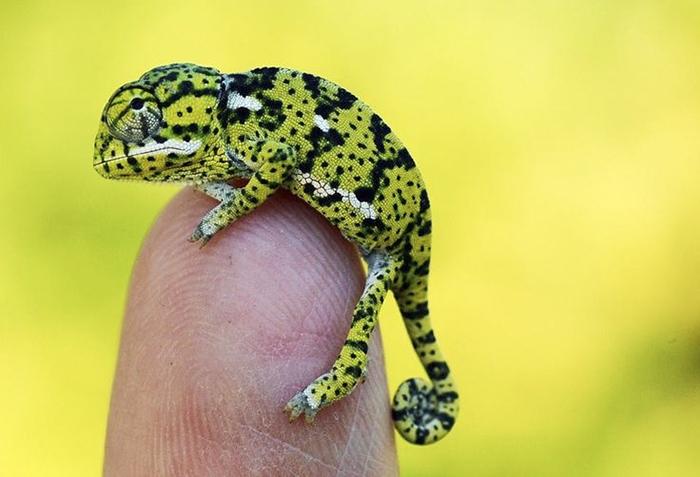 Только что вылупившийся младенец Flapneck Chameleon