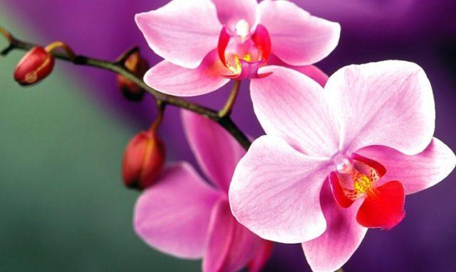 Как влияет на человека орхидея