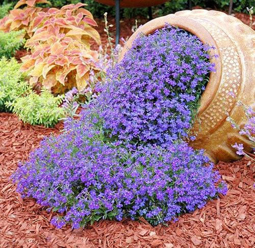 Рассада многолетних цветов для клумбы 15