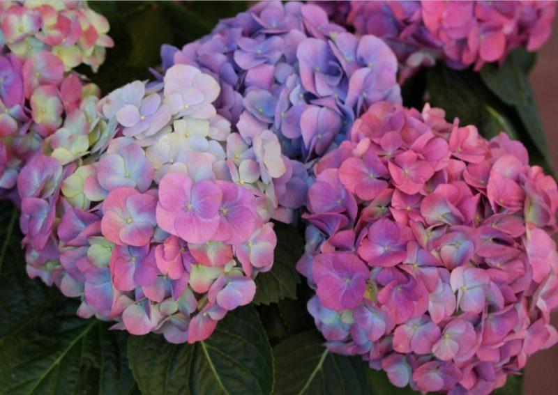 цвет гортензии