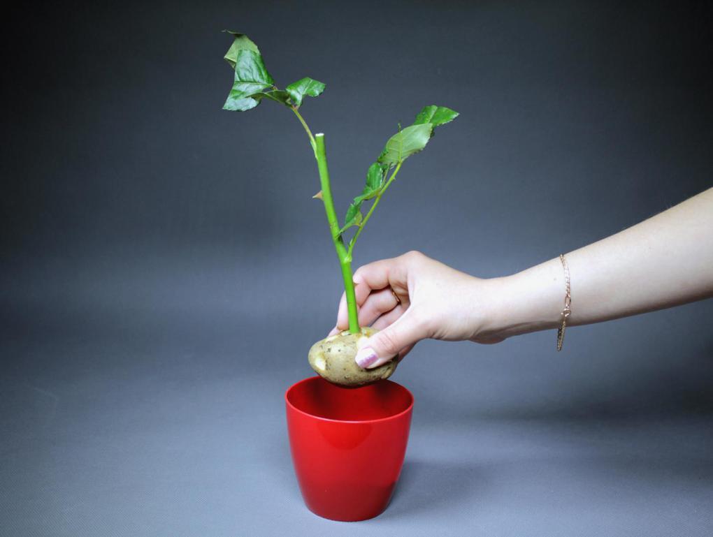 Выращивание розы из черенка - делаем правильно 61
