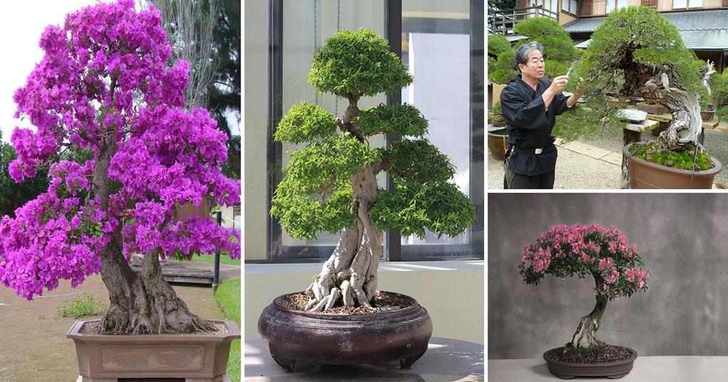 Выращивание бонсая в домашних условиях 20