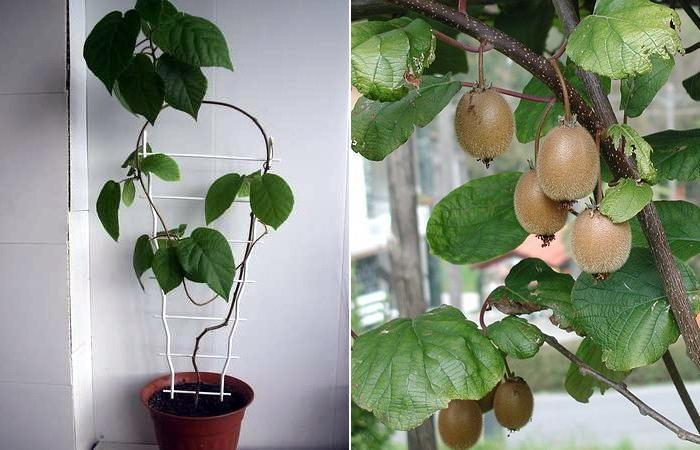 выращивание киви дома