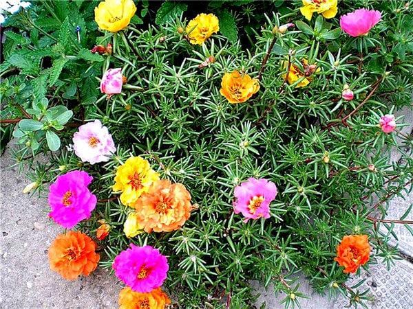 Клумбы из низкорослых сортов цветов 3