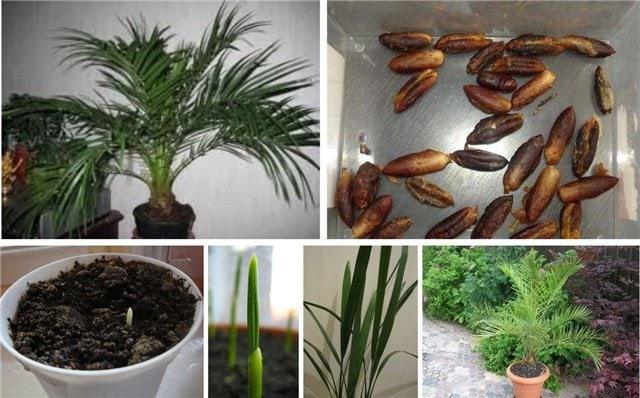 Как вырастить пальму из семян - сад на подоконнике
