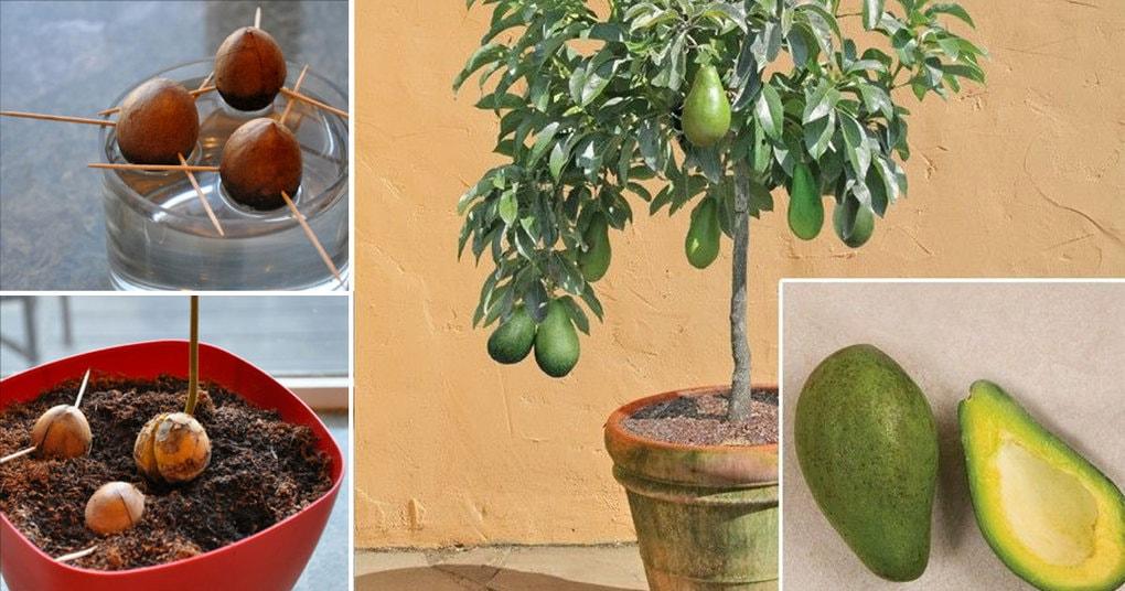 Авокадо из косточки в домашних условиях чтобы были плоды 229