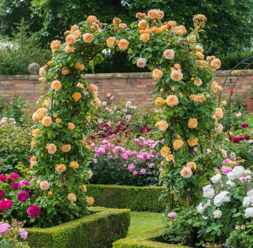 арка с вьющимися розами