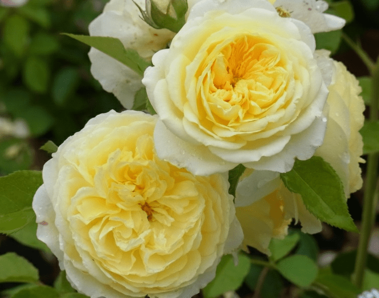 английская жёлтая роза