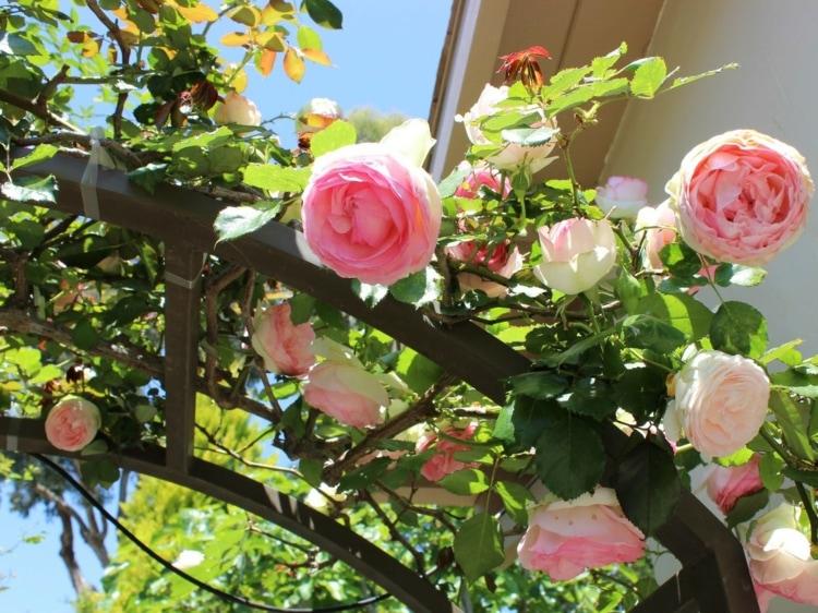 вьющиеся розовые розы для арки