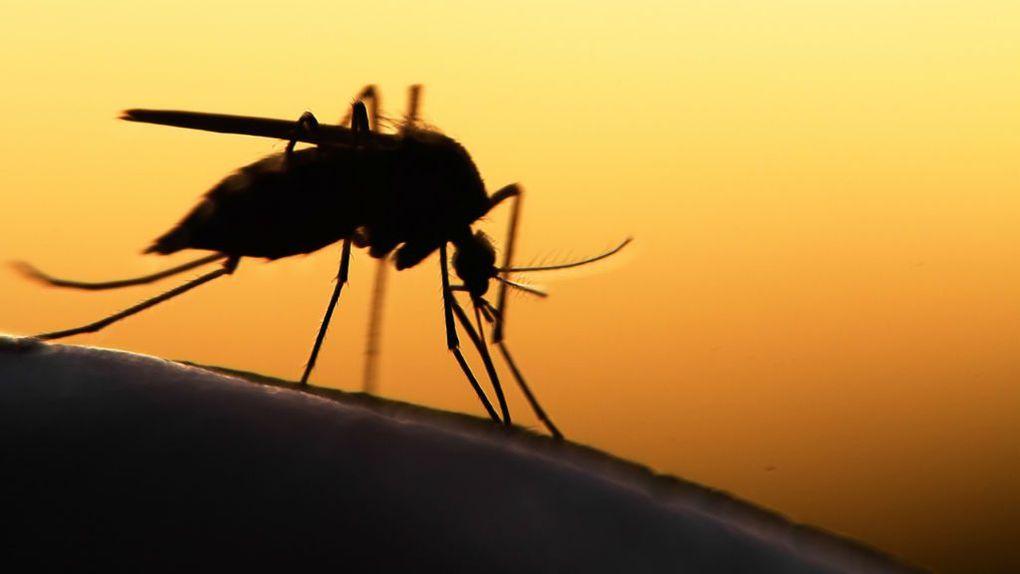 комар макрофото