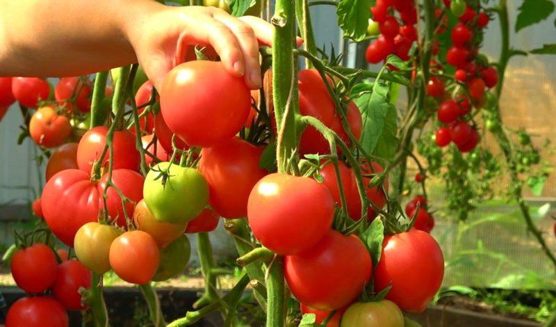 Эффективная подкормка томатов, благодаря которой плодов завяжется в 10 раз больше