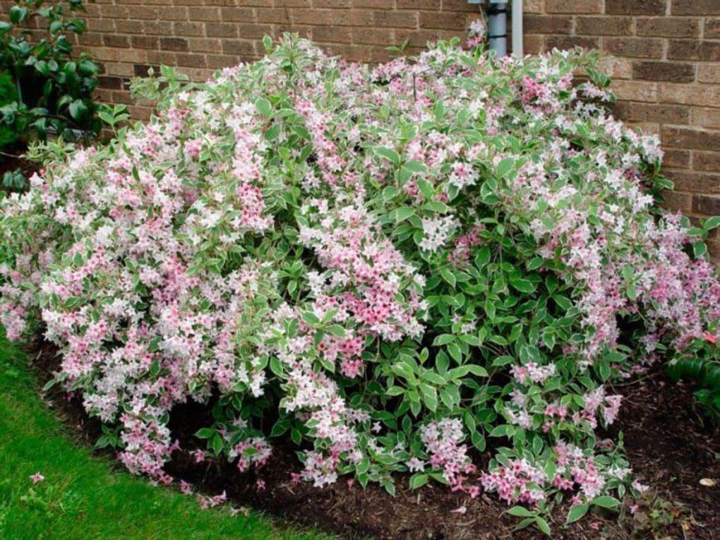 куст с розовыми и белыми цветами