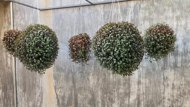Просто нарезать в горшок и повесить: роскошные шары из лёгкого в уходе растения