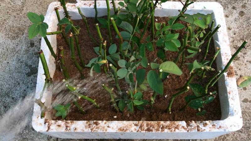 Укоренение роз в песке: необычный, но действенный метод