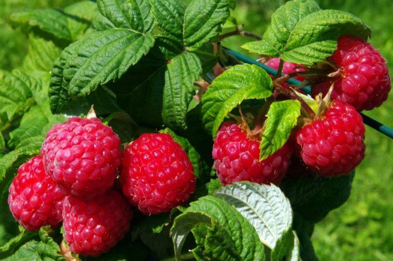 Малина даст богатый урожай: запомните 9 простых секретов