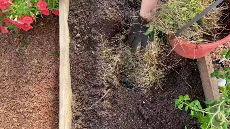 Сажаем 4 томата в 1 лунку — урожая хватит даже соседям