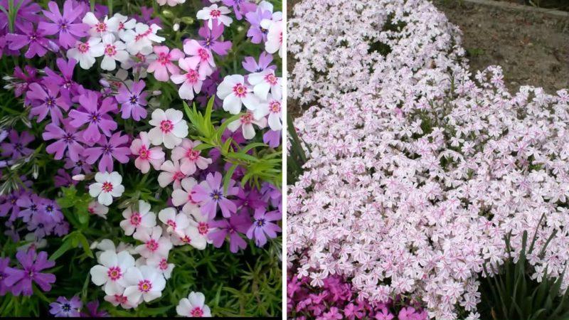 7 цветов на выбор! Посадите их, и они вытеснят сорняки с участка