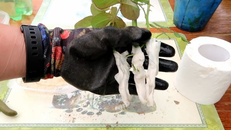 Как укоренить розу при помощи туалетной бумаги: необычный, но эффективный способ