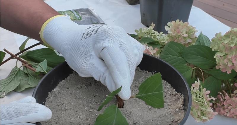 Самостоятельное размножение гортензии: лучший способ с максимальным результатом