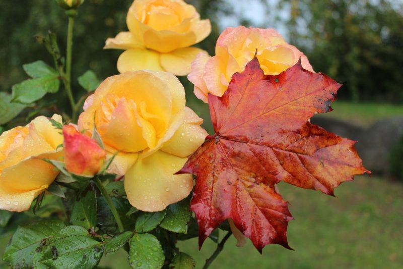 Что бы розы не померзли зимой, им необходимо правильный осенний уход