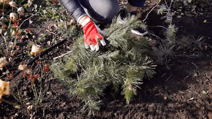 Обрезка и укрытие роз на зиму: просто о том, что казалось сложным